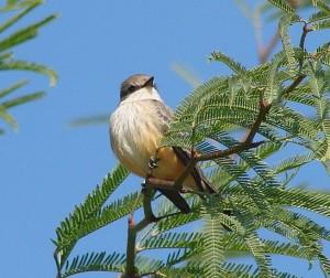 rw-vermilion-flycatcher